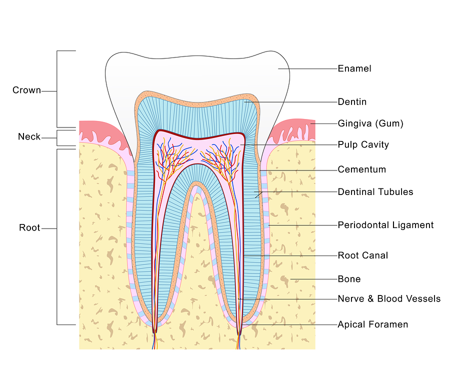 All About Root Canals - Vacendak Dentistry